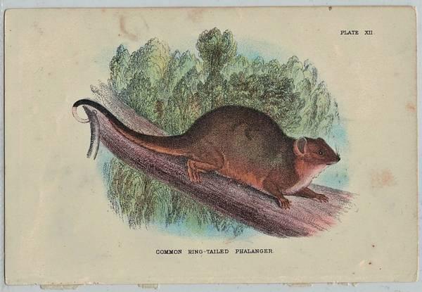 Bilde av Antikt trykk: Ringhalepungrotte (Pseudochirus peregrinus)