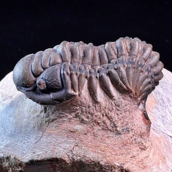 Bilde av Trilobitt (Crotalocephalina sp.)