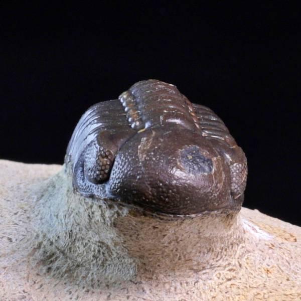 Bilde av  Trilobitt (Boeckops stelcki)