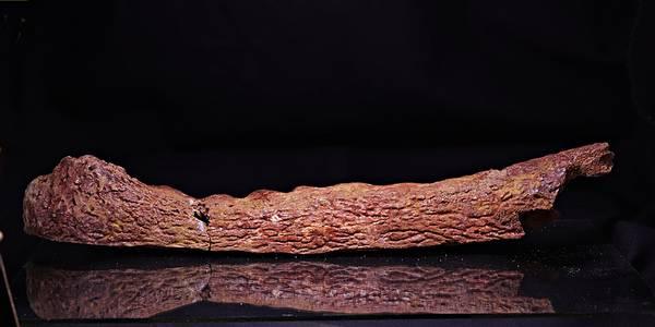 Bilde av Fossil underkjeve av krokodille (Elosuchus cherifiensis)