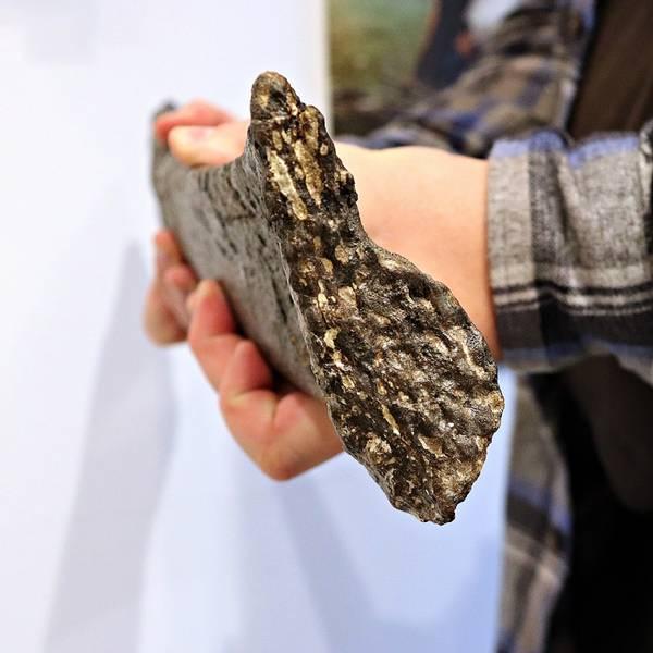 Bilde av Suuwassea sp. (sauropod) leggknokkel (spolebein/radius)