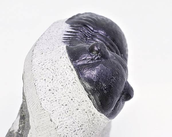 Bilde av Paralejurus rehamnanus