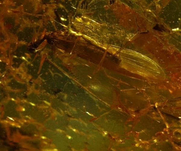 Bilde av Baltisk rav med steinflue (Plecoptera sp.)