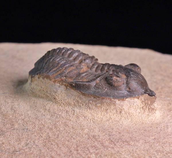 Bilde av  Trilobitt (Pseudocryphaeus minimus)