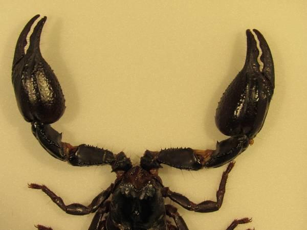 Bilde av Skorpion i tykk ramme