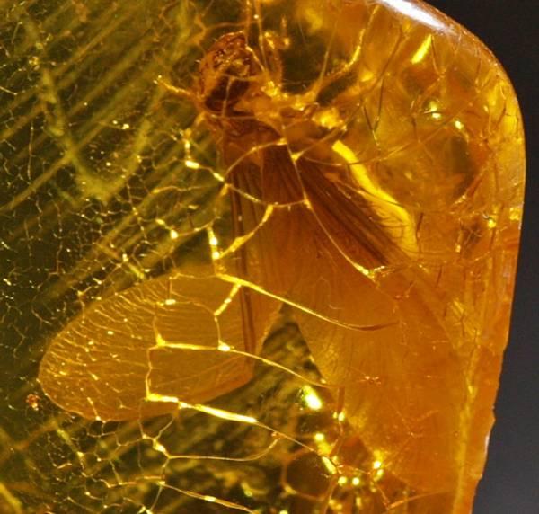 Bilde av Baltisk rav med termitt (Isoptera)