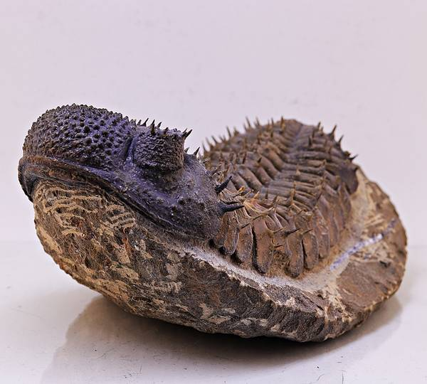 Bilde av Trilobitt (Drotops armatus)