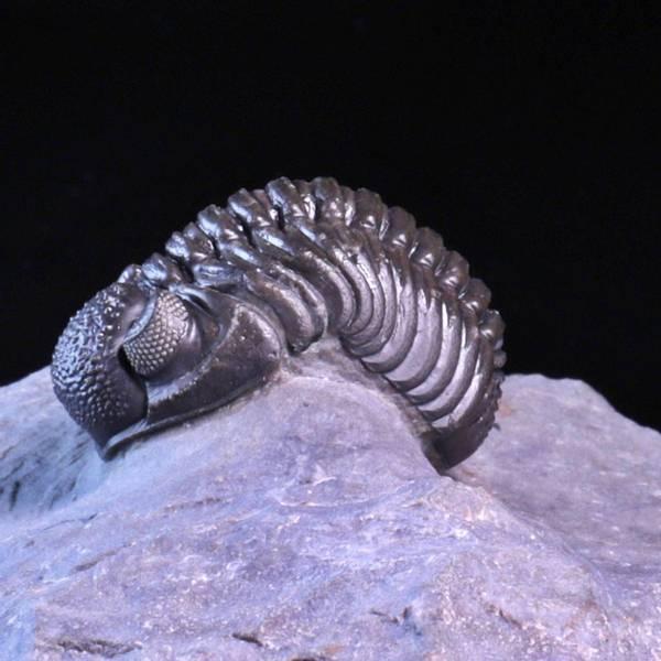 Bilde av  Trilobitt (Adrisiops weugi)
