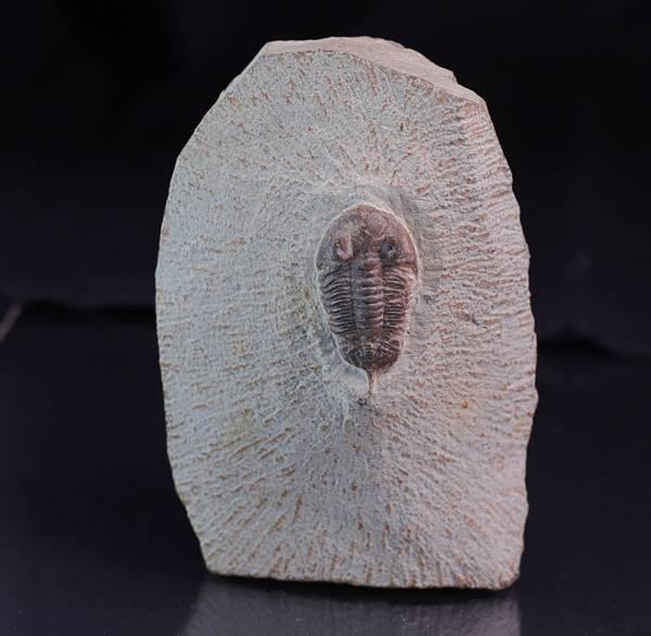 Bilde av Trilobitt ( Destombesina tafilaltensis)