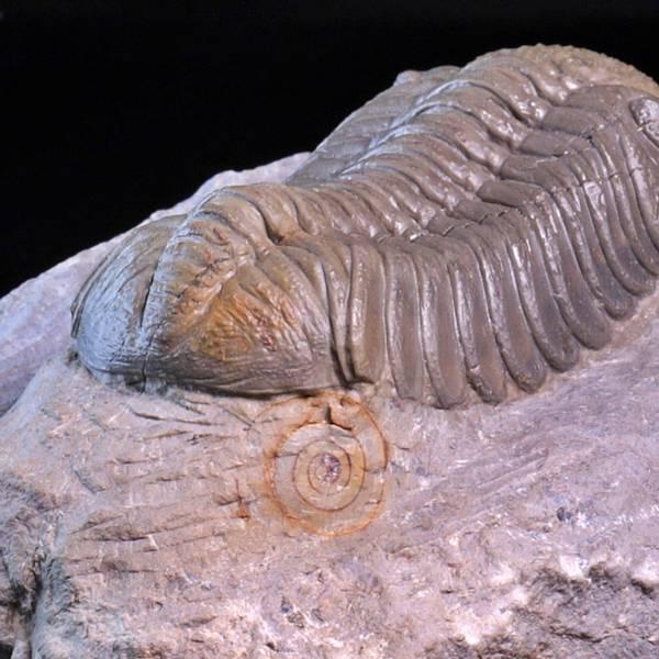 Bilde av Trilobitt (Morocops ovatus)