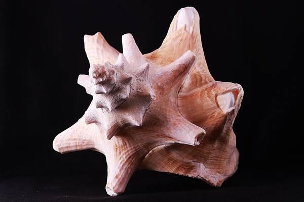 Bilde av Kjempestrombus (Lobatus gigas), medium