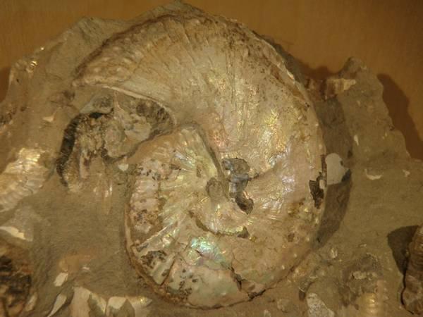 Bilde av Ammonitter (Hoploscaphites nicoletti) m.m. i matriks