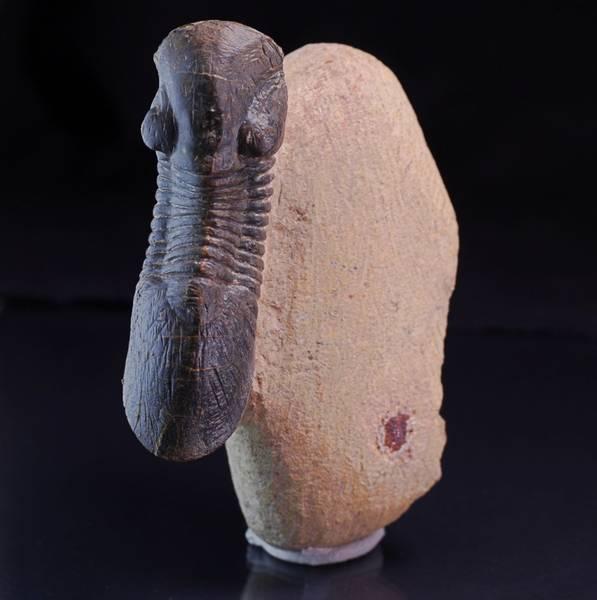 Bilde av Paralejurus spatuliformis