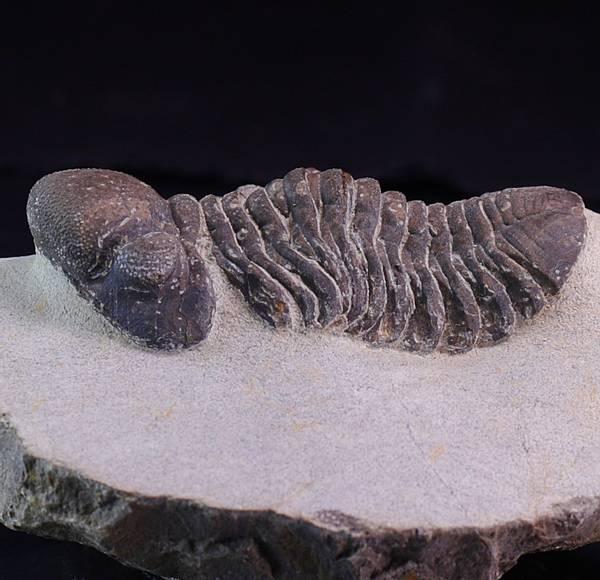 Bilde av  Trilobitt (Reedops pembertoni)
