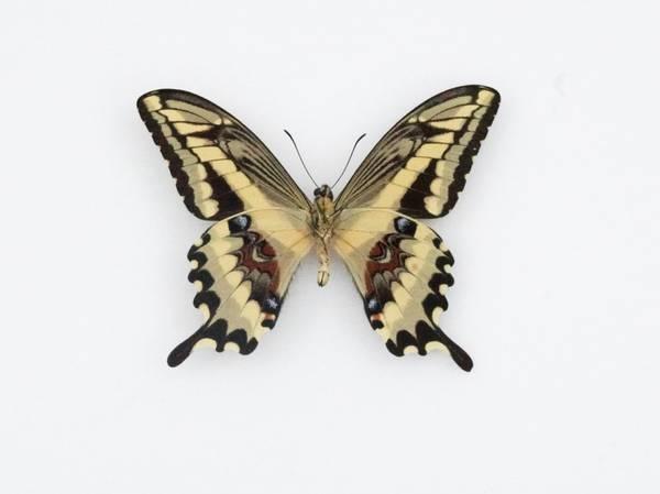 Bilde av Papilio thoas neacles