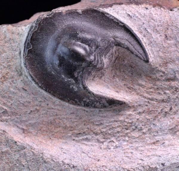 Bilde av Trilobitt (Harpetidae sp.)