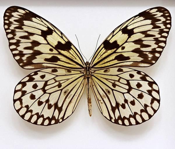 Bilde av Rispapirsommerfugl (Idea leuconoe athesis)