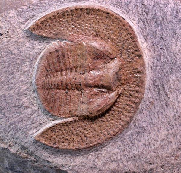 Bilde av Trilobitt (Declivolithus titan)