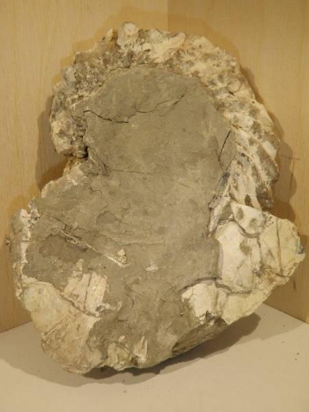 Bilde av Ammonitt (Hoplites dentatus)