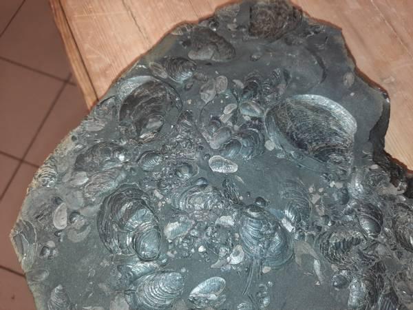 Bilde av Stor fossilplate fra Svalbard (jura)