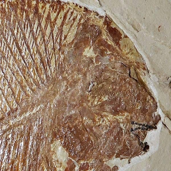 Bilde av Pycnodont fisk
