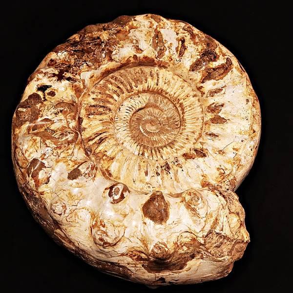 Bilde av Kjempeammonitt (Kranaosphinctes sp.)
