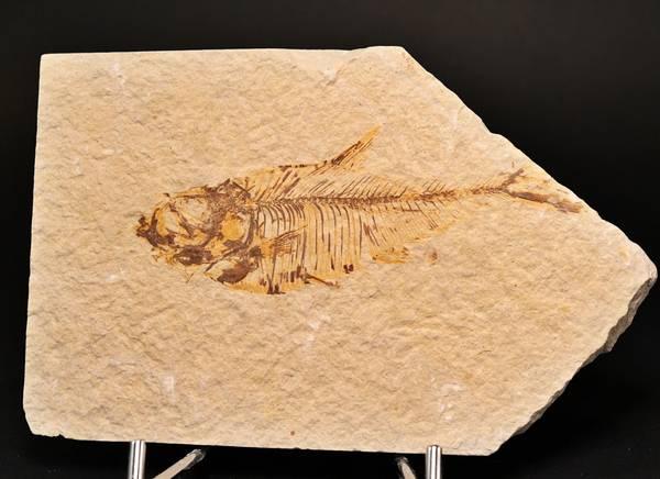 Bilde av Fossil rovfisk (Diplomystus dentatus)