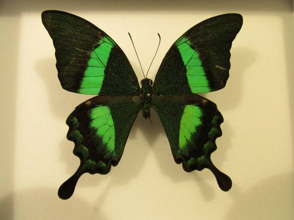 Bilde av Smaragdsvalestjert (Papilio palinurus)
