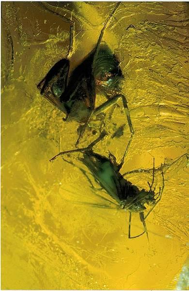 Bilde av Rav, dramatisk scene med edderkopp, fjærmygg og flue