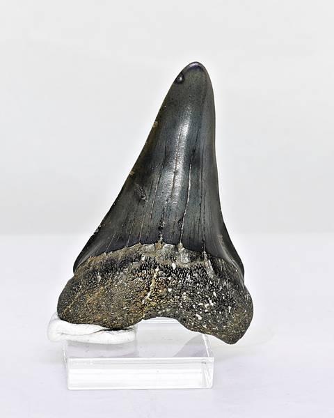 Bilde av Tann av kjempehvithai (Cosmopolitodus hastalis)