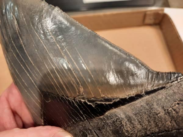 Bilde av Diger, skarp Megalodon-tann, 15,2 cm