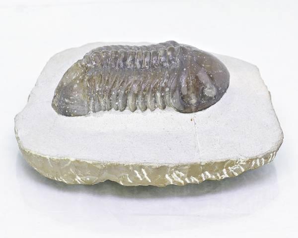 Bilde av  Trilobitt (Struveaspis struve)