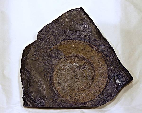 Bilde av Ammonitt-plate (stor Hildoceras), Holzmaden