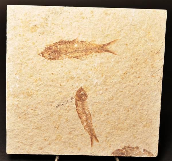 Bilde av Fossil ferskvannssild (Knightia sp.)
