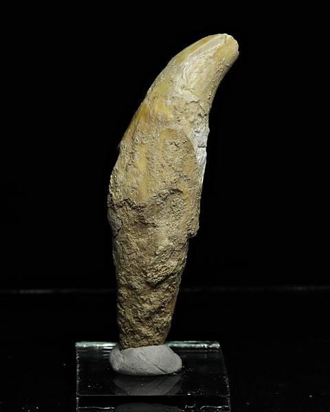 Bilde av Hjørnetann av hulebjørn (Ursus spelaeus)