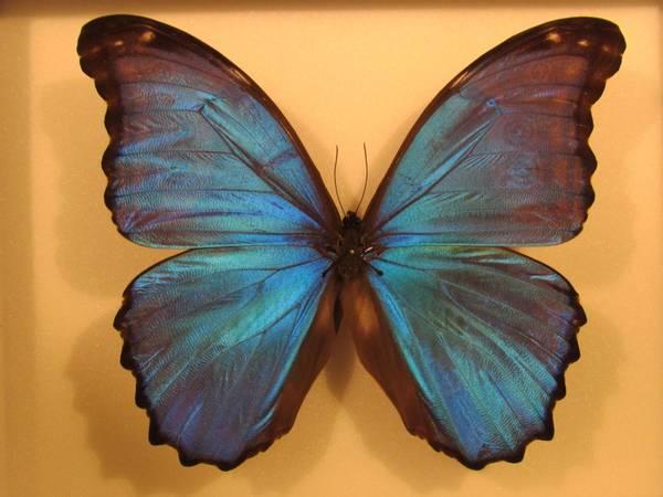 Bilde av Morpho-sommerfugl (23 x 18 cm ramme)