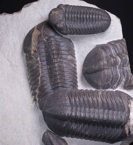 Bilde av Massedødplate med trilobitter (Struveaspis struve, Adrisiops sp.