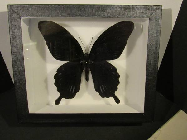 Bilde av Svart svalestjert (Papilio deiphobus deiphobus)