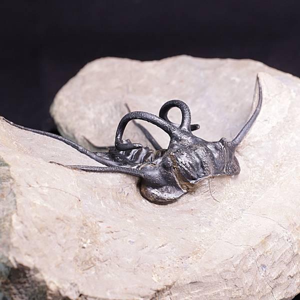 Bilde av Trilobitt (Dicranurus monstrosus)