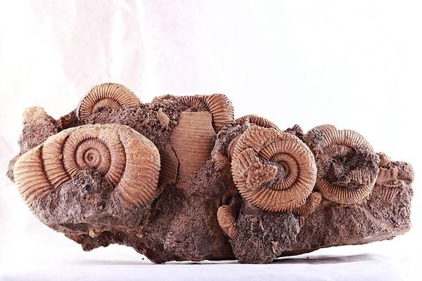 Bilde av Ammonittklynge (Dactylioceras athleticum)