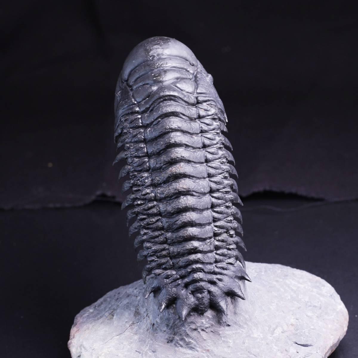 Trilobitt (Crotalocephalina gibba)
