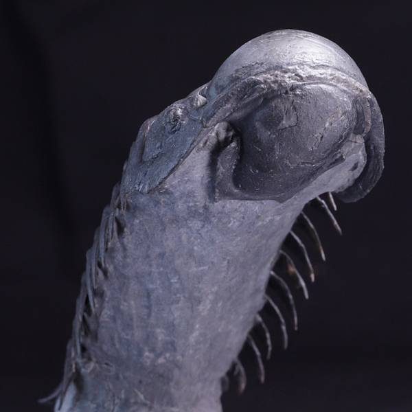 Bilde av Trilobitt (Crotalocephalina gibba)