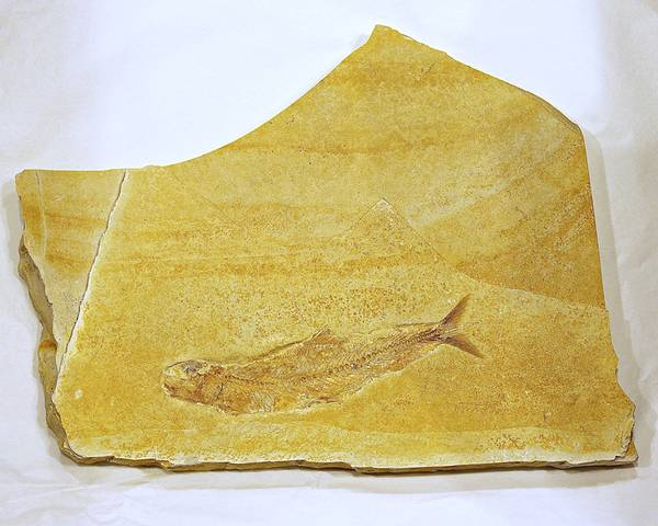 Bilde av Fossil fisk (Tharsis dubius)