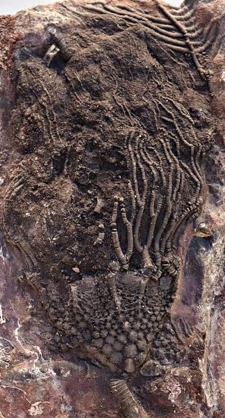 Bilde av Steinplate med sjøliljefossiler (Scyphocrinites elegans)