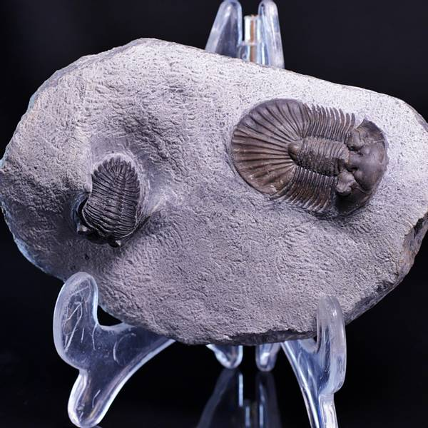 Bilde av  Trilobitter (Scabriscutellum og Hollardops)