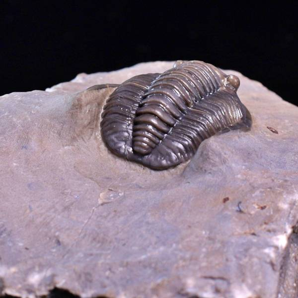 Bilde av Trilobitt (Diademaproetus antatlasius)