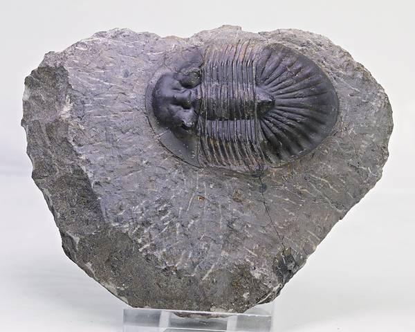 Bilde av  Trilobitt (Poroscutellum sp.)