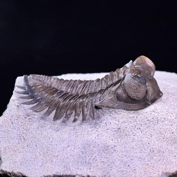 Bilde av Trilobitt (Coltraneia oufatensis)