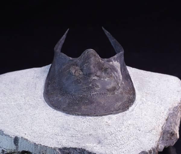 Bilde av Trilobitt (Harpes Perradiatus)
