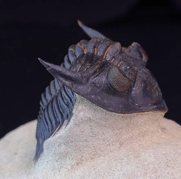 Bilde av Trilobitt (Metacanthina issoumourensis)